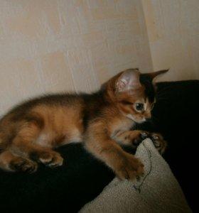 Абиссинские кошечки