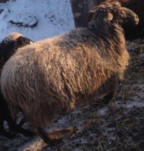 Продаю 3 овец
