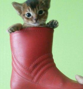Абиссинские котята к 8 марта!!!