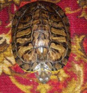 Черепаха красноухоя