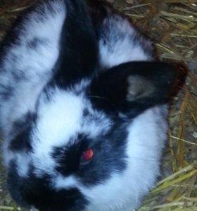 Крольчата 1.5 мес.цена за мес