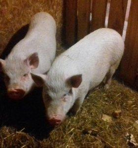 Свиноматки(порода вьетнамские вислобрюхие)