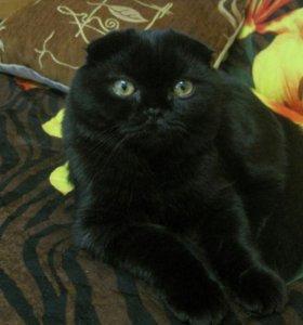 Кот британец вислоухий для вязки