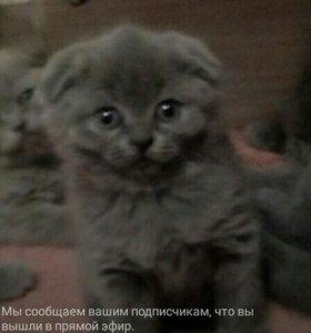 Котята скоттиш фолд(британцы)