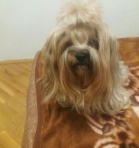 Вязка йоршиский тейер щенок даром девочка