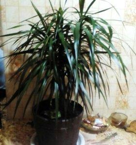 Цветок пальма