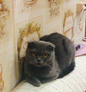 Вязка с кошкой (Шотландская вислоухая)