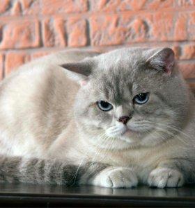 Шотландский прямоухий кот для вязки