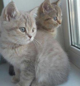 Продам британских котят !