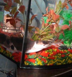 аквариум с сомиком