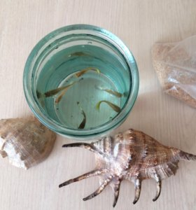 Аквариумные рыбки гуппи 6 шт.