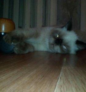 Кот экзот вязка