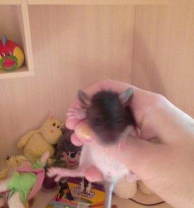Крысята в добрые ручки