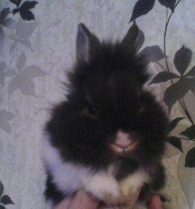 Карликовый кролик.
