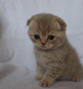 Продам британский котят