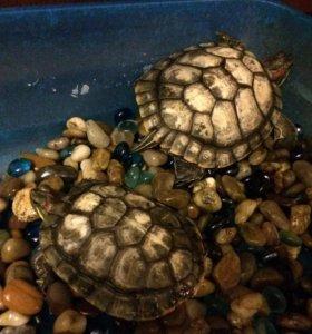 Террариум+Красноухие черепахи
