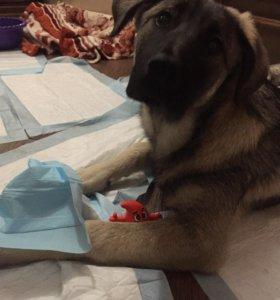 Собака в добрые руки , в дар , даром