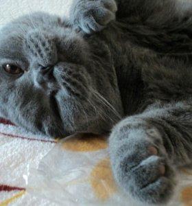 Вязка вислоухий шотландский кот