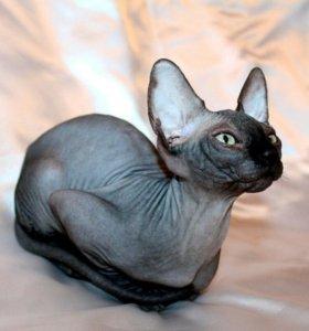 Сфинкс котенок