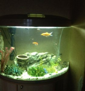 Аквариум рыбки сом за все