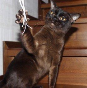 Бурманские котята