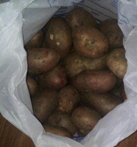 Картофель ведро