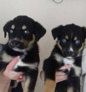 Голубоглазые щенки