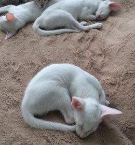 Ориенталы котята