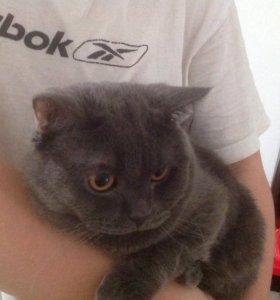 Вязка кота порода Британец