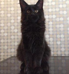 Мейн-Кун чёрный кот 3мес.