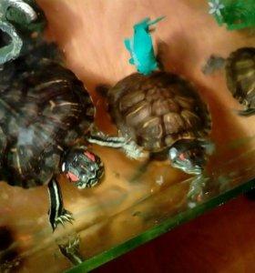 Есть черепахи 3 штуки !