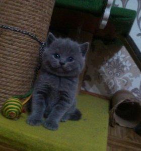 Продам котиков британцев