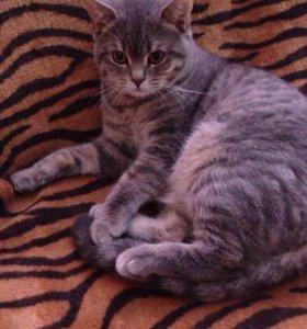 Вязка кот шотландец