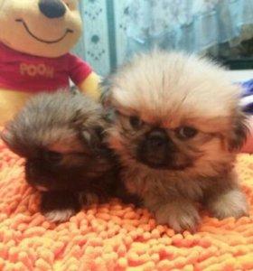 Пекинесы щенки