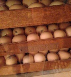 Инкубационное яйцо и молодняк