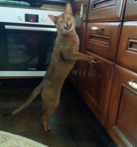 Абиссинский мачо