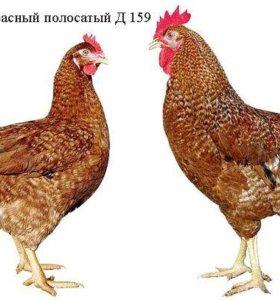 Курица Доминант красный полосатыйд159
