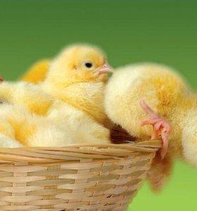 Бролерный цыплёнок росс-308( Чехия)
