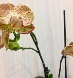 Орхидея. Сортовой Фаленопсис Ravello.