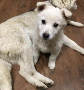 Хаски (полукровка) щенок
