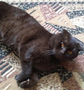 Британский кот(вязка)