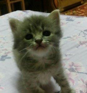 Продам котенка девочка