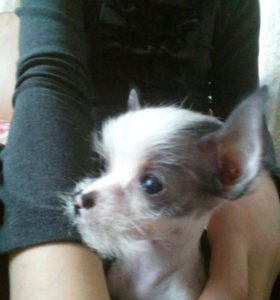 Китайский хохлатый щенок