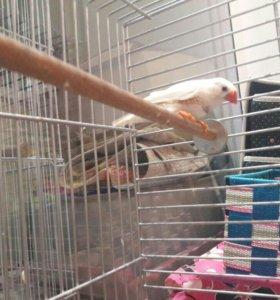 Птицы амадины зебровые с клеткой