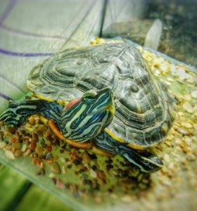 Черепаха с оквариумом