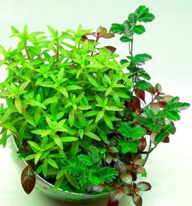 Вабикуса,растения,водоросли,мхи,почвопокровные