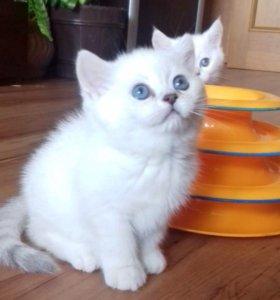 БРИТАНСКИЕ котятки шиншилла пойнт