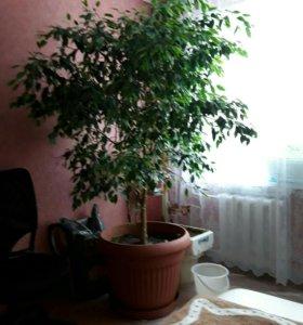 Дерево - фикус Бенжамина