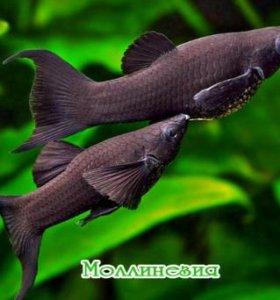 Моллинези рыбки