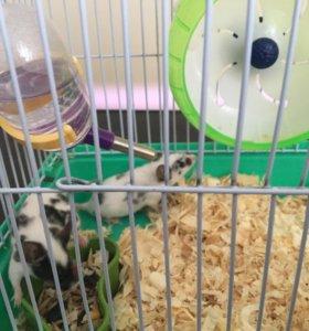 Мышки китайские